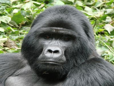 Meet The Mountain Gorillas