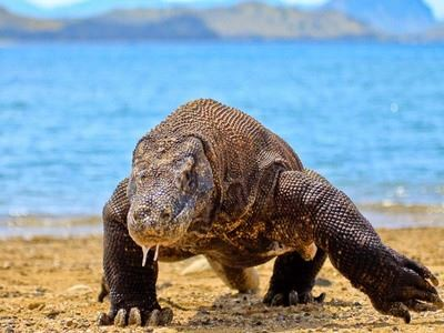 See Komodo Dragons On Komodo island