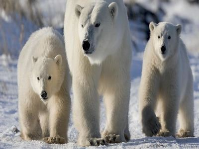 Witness The Polar Bear Migration