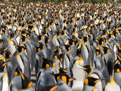 Sit Among 300000 King Penguins
