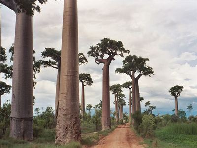Walk The Avenue Of The Baobabs
