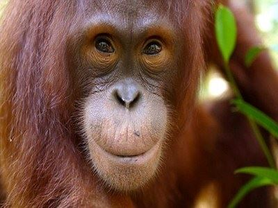 Watch Orangutans In The Wild