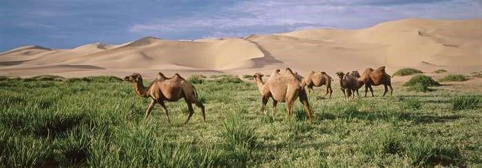 Camels grazing in the Gobi Desert, Mogolia